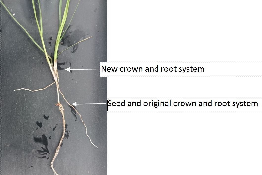 Secondary crown formation in ryegrass